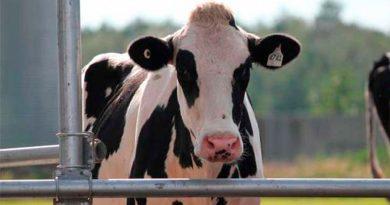 Las vacas servirán como fábricas de plasma para tratar la Covid-19