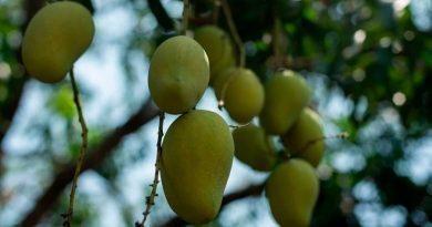 IPN comprueba propiedades cicatrizantes de la cáscara de mango