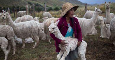 """Científicos chilenos hallan un """"fuerte"""" anticuerpo contra el COVID-19 en las alpacas"""