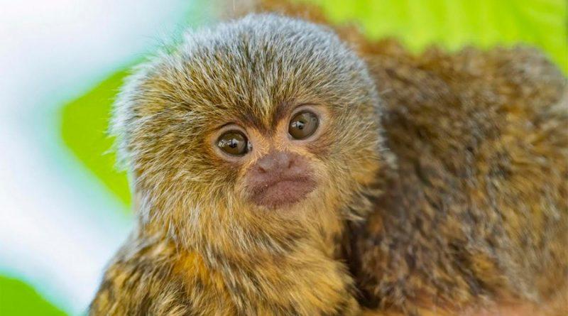 Un bebé del primate más pequeño del mundo nace en el zoo de Viena