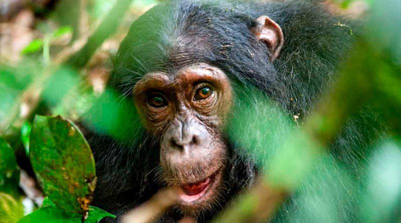 Se descubre que en el corazón de una especie de primate, emparentado con el ser humano, hay un hueso