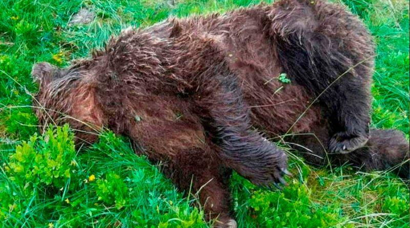 Diez mil euros de recompensa para encontrar al asesino de un oso pardo en los Pirineos