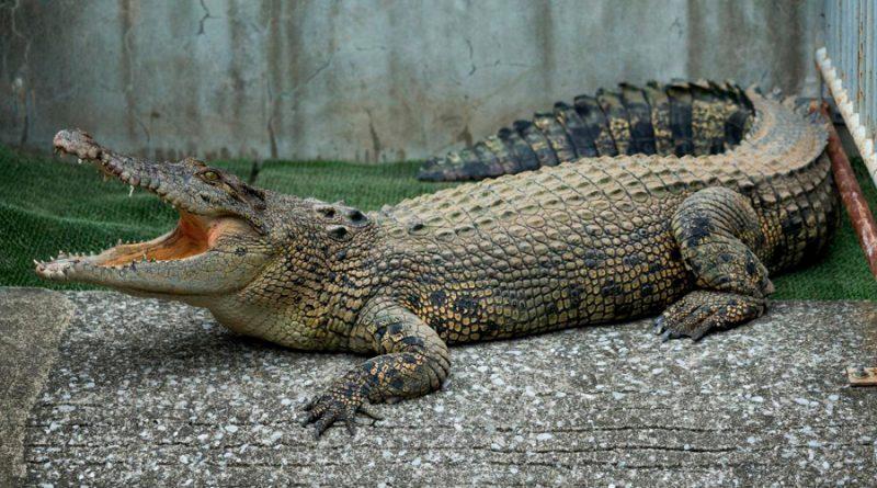 La mordedura de un cocodrilo tiene hasta 1.800 kilos de fuerza