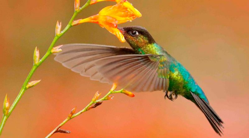 Estudio revela que los colibrís ven colores que los humanos no pueden percibir