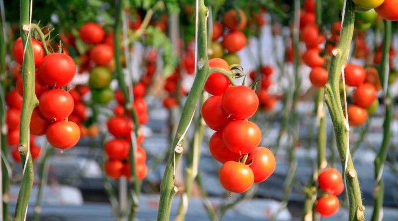 Hallan mutaciones secretas que permitirían crear nuevas variedades de tomates