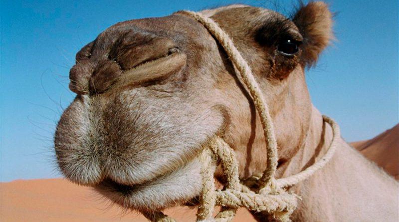 ¿Sabías que? Los camellos tienen tres párpados