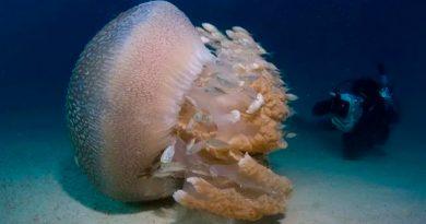 Veneno de medusa gigante desconcierta a científicos: su picadura llega hasta los 3.5 metros