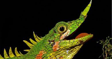 Encuentran un lagarto con un cuerno en la nariz que no se había visto en 129 años