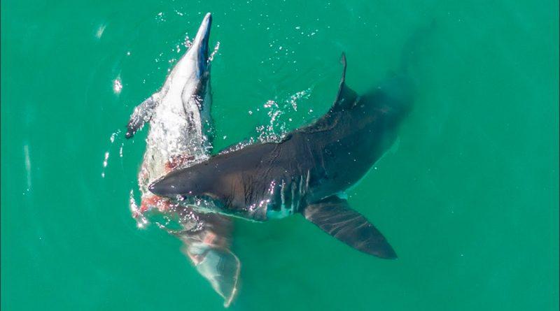 así atacan cuatro grandes tiburones blancos a un delfín