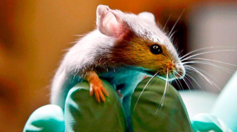 Descubren tratamiento que genera nuevas neuronas que acaban con síntomas de párkinson en ratones