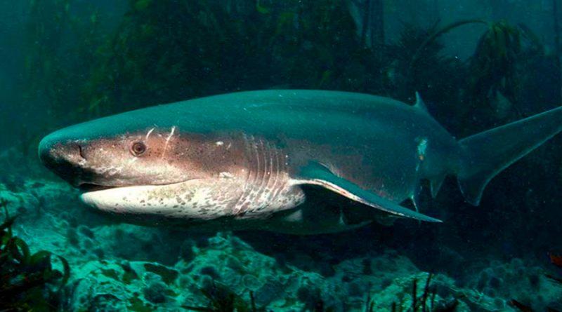 Los misteriosos tiburones vaca son registrados por primera vez en Galápagos