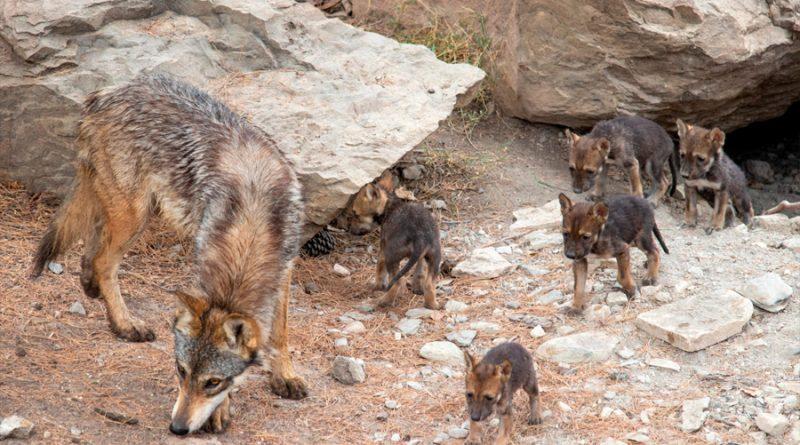 Nacen ocho cachorros de lobo gris mexicano en Coahuila