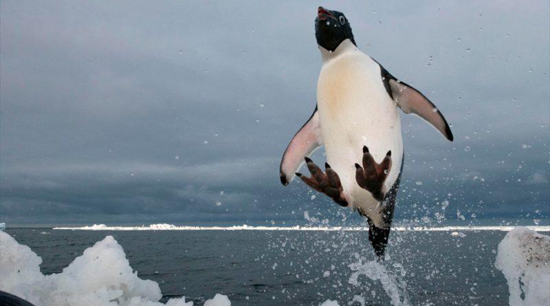 Descubren que algunos pingüinos de la Antártida son más felices con menos hielo marino