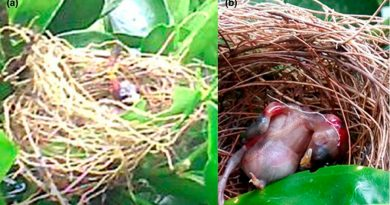 Captan modo en que una avispa ataca a un polluelo en su nido y se come su cabeza