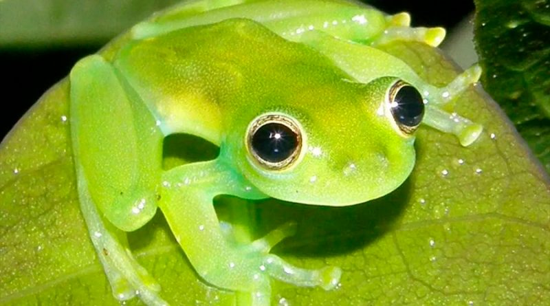 Algunas ranas, lagartos y peces deberían estar muertos, pero en cambio se han vuelto verdes