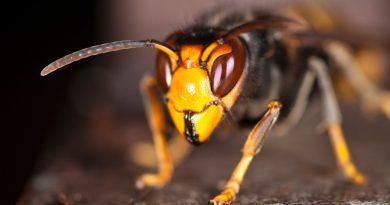 Hallan una insospechada habilidad cognitiva de las avispas
