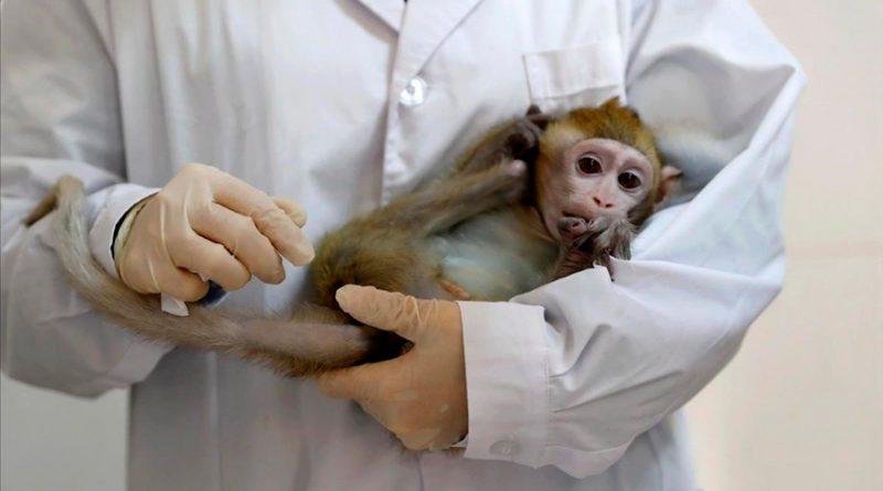 Monos infectados con Covid-19 desarrollaron inmunidad a corto plazo