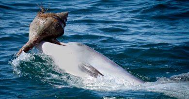 Científicos descubren que los delfines usan caracoles para cazar peces