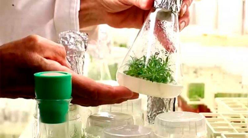 Científicos reviven planta hallada en Rusia congelada por más de 30 mil años