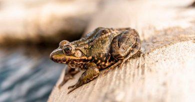 Hallan la primera evidencia de glándulas venenosas en anfibios, similares a las de las serpientes