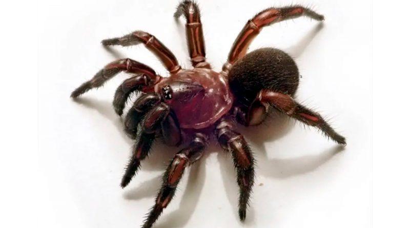 Descubren todo un nuevo género de arañas cazadoras en Australia