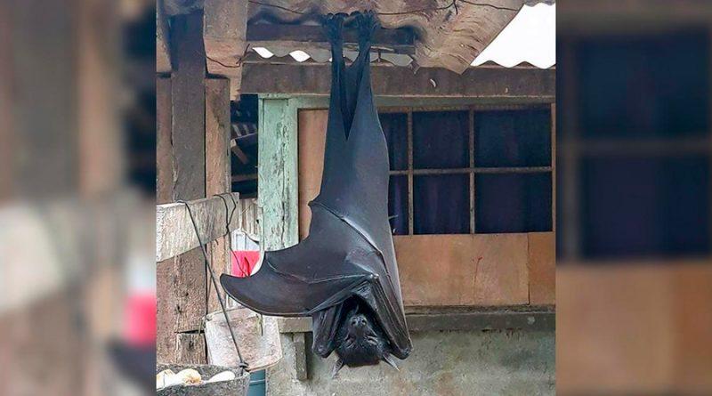 El enorme murciélago que se ha hecho viral tiene una envergadura de 1.70 metros
