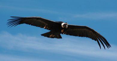 Descubren que cóndores casi no aletean mientras vuelan: mueven sus alas solo el 1% de su tiempo