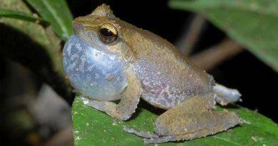 Científicos argentinos descubren la proteína que les permite camuflarse a las ranas