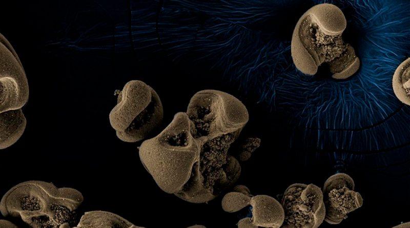 Hallada por casualidad la primera bacteria que se alimenta de manganeso