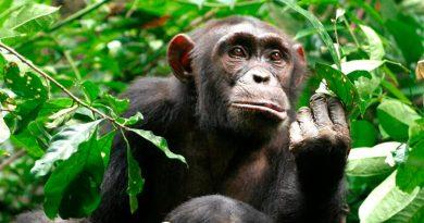 Merma significativamente la población de chimpancés en el mundo por la reducción de su hábitat