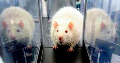 Las ratas tienen los mismos dilemas morales que los seres humanos, según un estudio