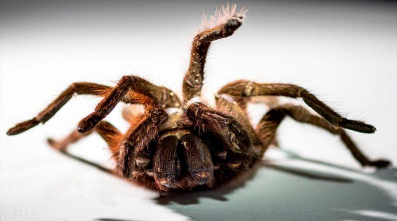 La araña más grande del mundo es tan enorme que puede comer pájaros