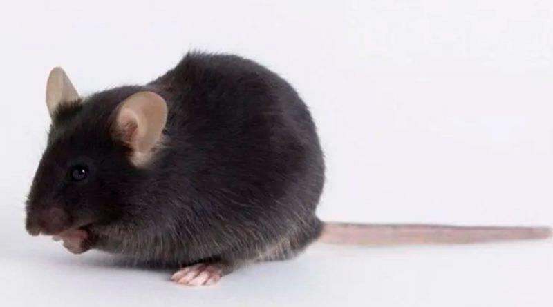 Vacuna contra el covid-19: cómo unos ratones modificados genéticamente se volvieron objeto de una disputa mundial