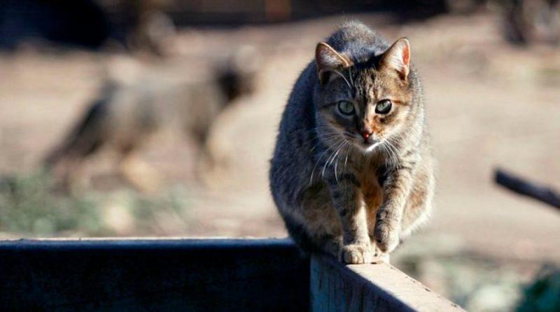 Descubren peligroso parásito que vive en gatos y ya afecto a un tercio de la humanidad