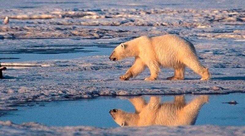 Cambio climático podría extinguir a osos polares antes del 2100