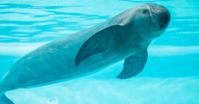 Comisión Ballenera Internacional pide al gobierno de México proteger vaquita marina