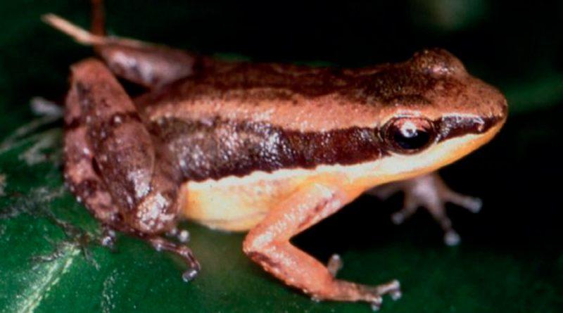 """Científicos """"engañan"""" a las ranas macho para entender su comportamiento territorial"""