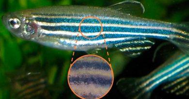 Un modelo matemático explica la formación de bandas en el pez cebra