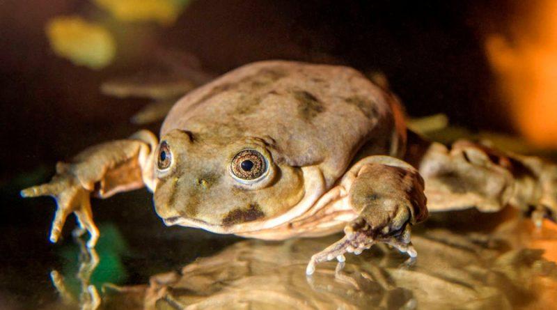 Científicos de varios países preservan a la rana gigante del lago Titicaca