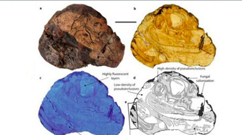 Encuentran savia de árboles de hace 100 millones de años preservada en ámbar