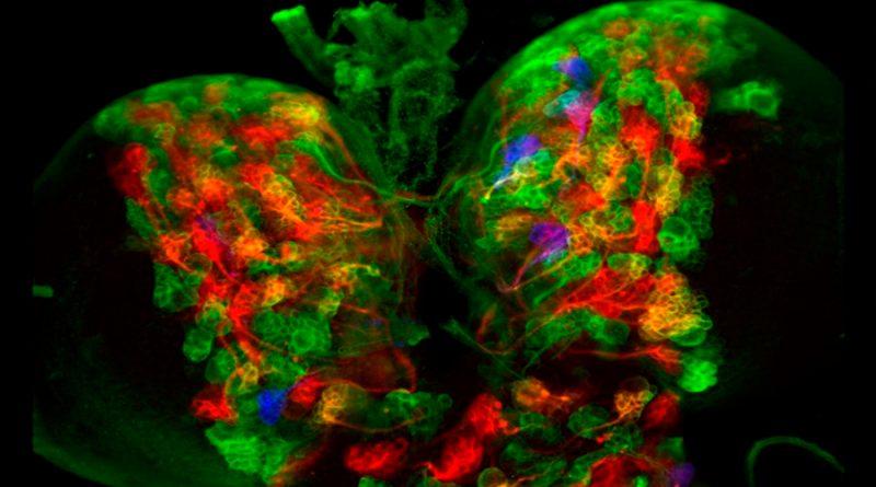 Una nueva técnica genética permite programar células madre del cerebro