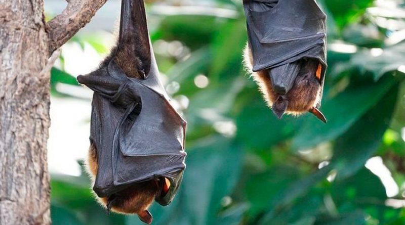 Análisis genealógico muestra que el coronavirus lleva más de 40 años en murciélagos