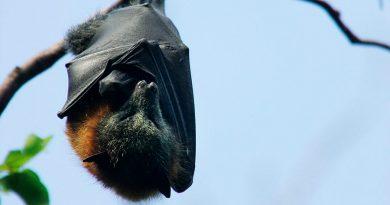 Cómo develar los secretos de la inmunidad de los murciélagos puede ayudarnos a combatir el coronavirus
