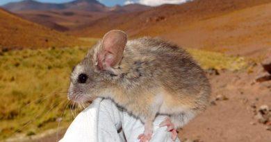 Descubren un ratón que vive a casi 7 mil metros de altura y resiste a -60°C en un volcán