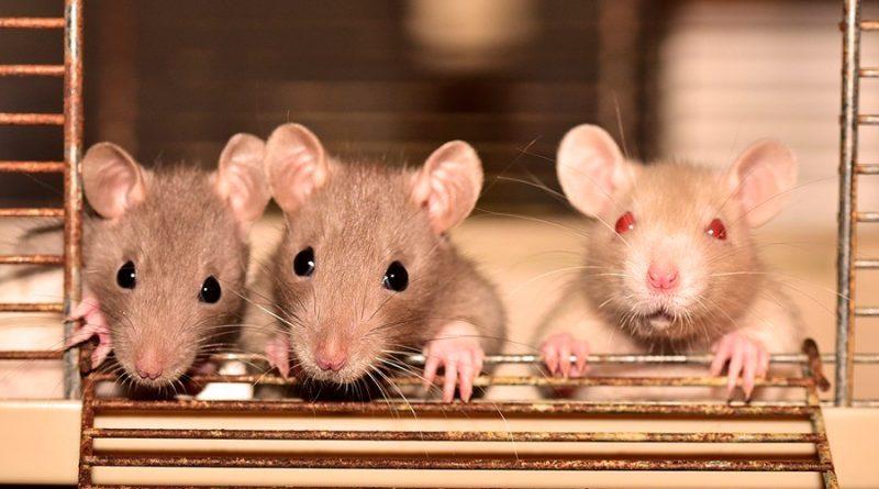 Ratas que consumen anticoagulantes que usamos como matarratas se multiplican y hacen más resistentes