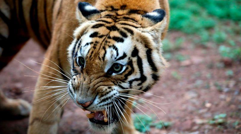 Duplica Tailandia la población de tigres salvajes