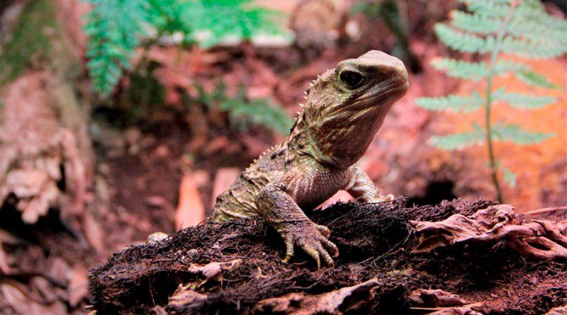 """El genoma del tuátara revela que este """"raro"""" reptil de Nueva Zelanda comparte ADN con los mamíferos"""