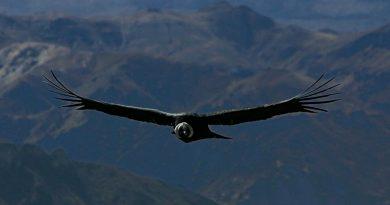 """El cóndor de los Andes, una """"máquina"""" súper eficiente capaz de volar 5 horas sin aletear"""