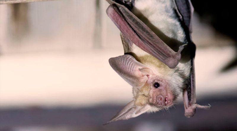La relación malentendida entre virus, murciélagos y humanos