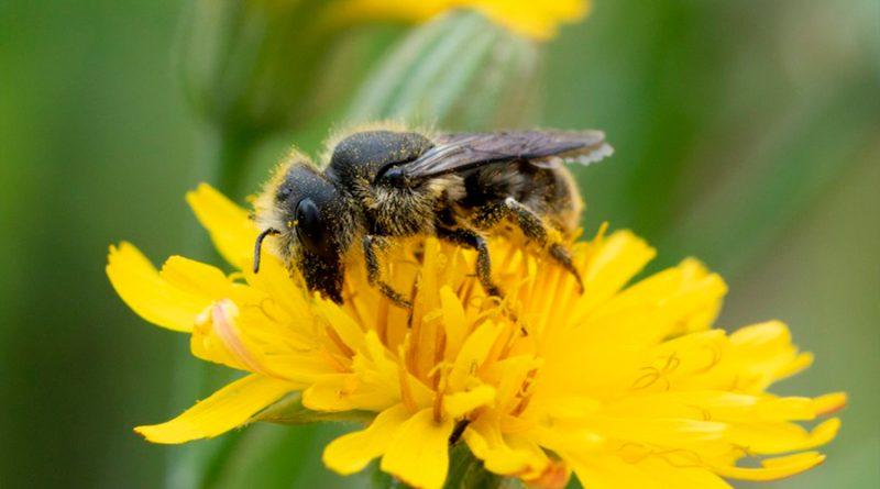 La contaminación del aire también afecta a la salud de los insectos polinizadores silvestres
